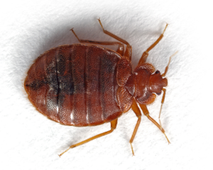 bedbugs are visible