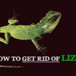 How to Get Rid of Lizards from Your Home