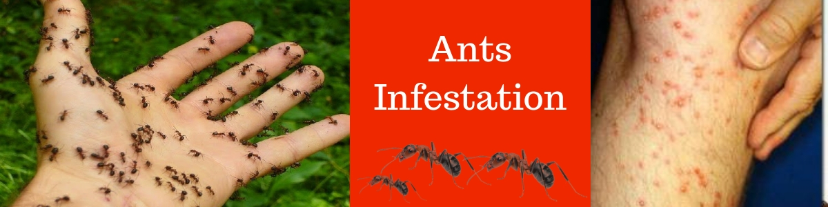 Ants Infestation