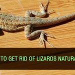 How to Get Rid of Lizards Naturally?