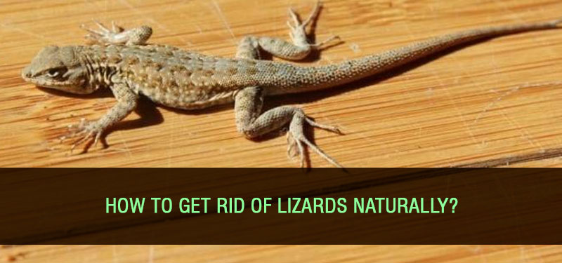 getting-rid-of-lizards