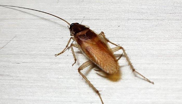 german-cockroach-control